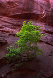 Grand Staircase-Escalante National Monument, box elder, leaves, light, southwest, canyon, rock,