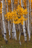 Keble Pass, colorado, aspen, quaking aspen, fall