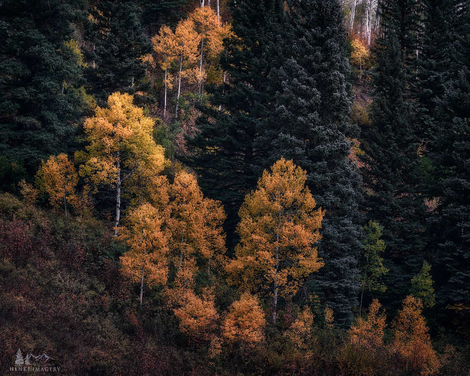 Aspen, gold, Gunnison, national forest, Colorado, quaking aspen, leaves