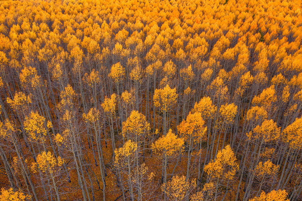 drone, aspen, sunlight, glow, Colorado, twin lakes,illuminating
