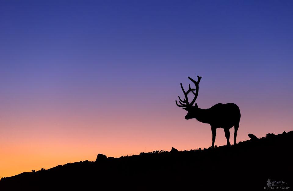 Rocky Mountain National Park, Colorado, elk, tundra