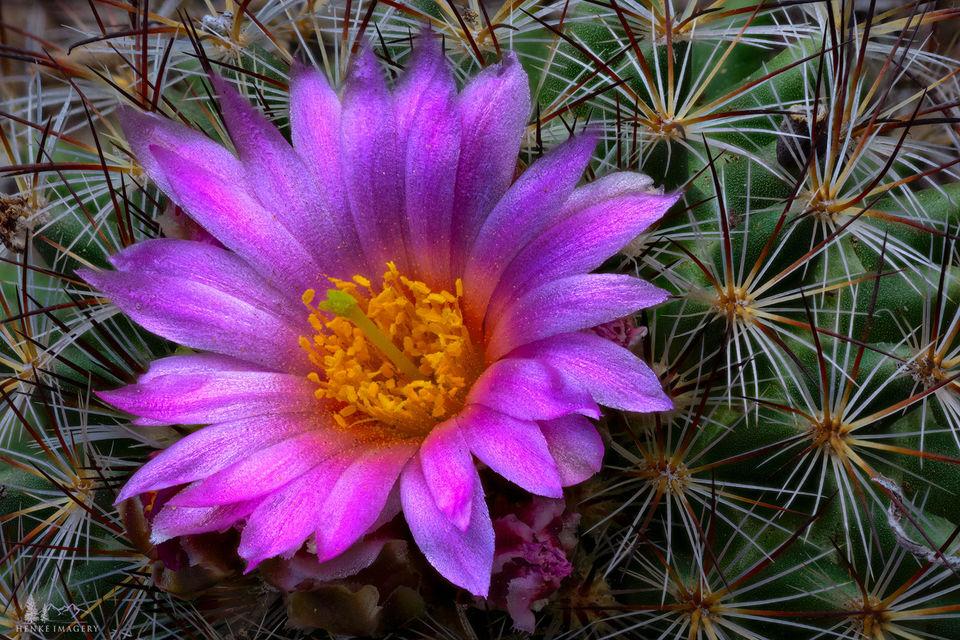 Estes Park, Colorado, cactus, mountain ball cactus, spring,