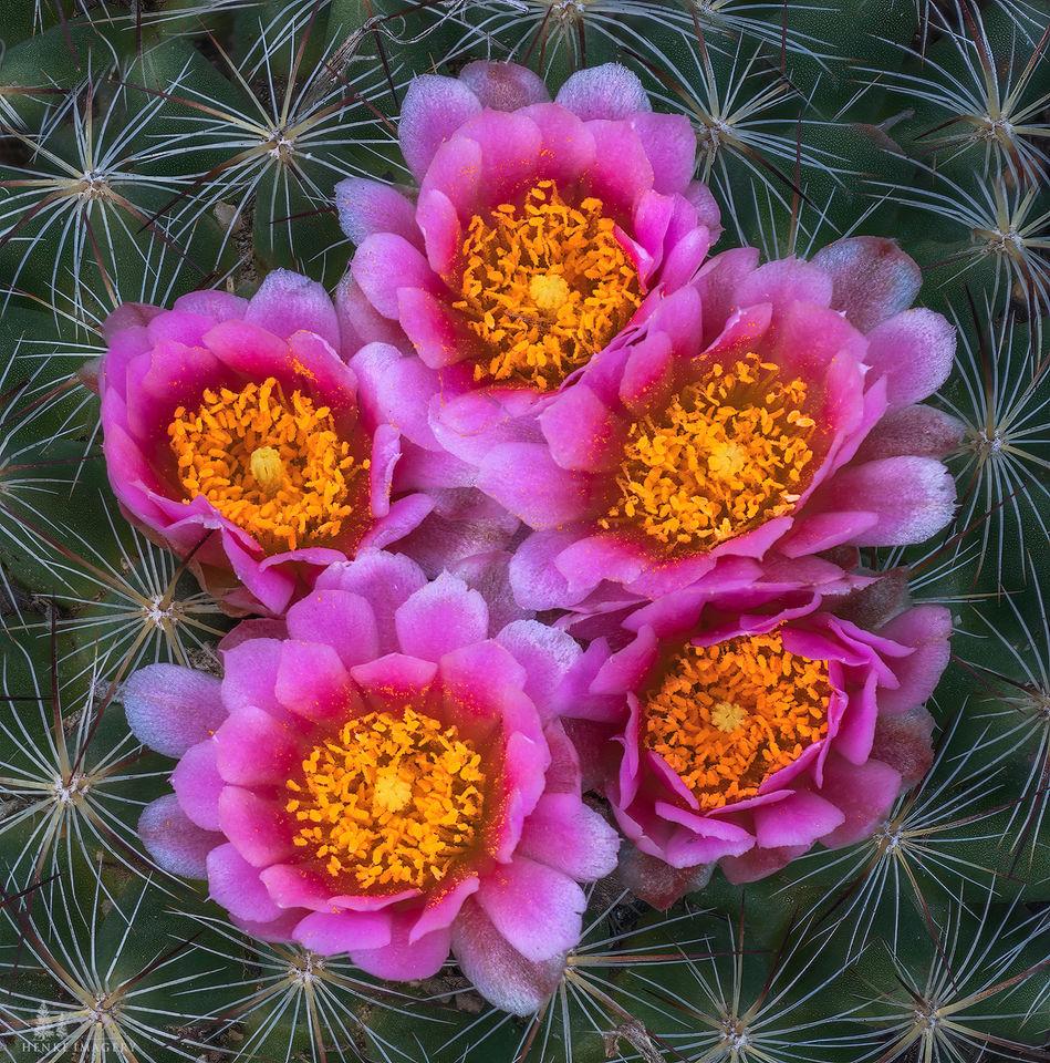 Cactus, flowers, ball cactus