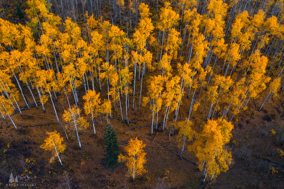 An aerial perspective of an aspen grove at peak color.