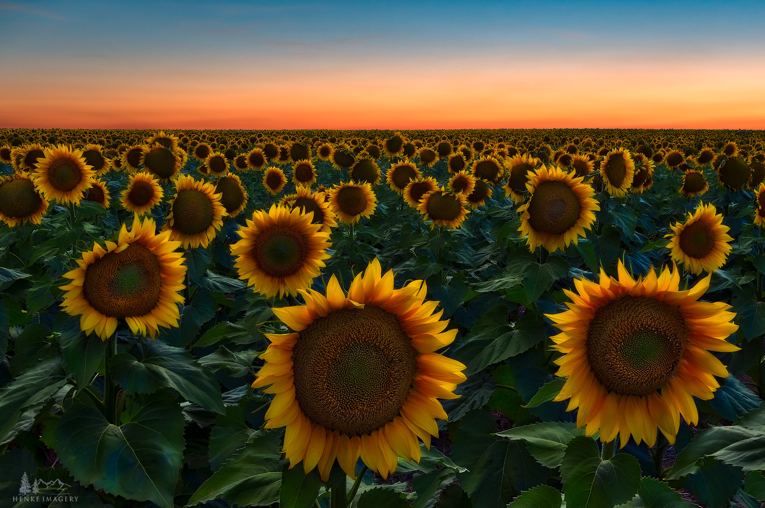 The many sunflower fields outside Denver, Colorado, are quite showy and appear to stretch out to the horizon.